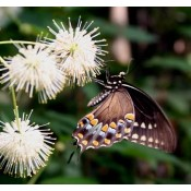Butterfly Host Plants, Caterpillar Food Plants, Larva Host Plants