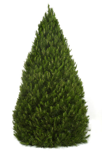 Order your perfectly shaped real Christmas Tree from Dural Christmas Tree Farm Sydney